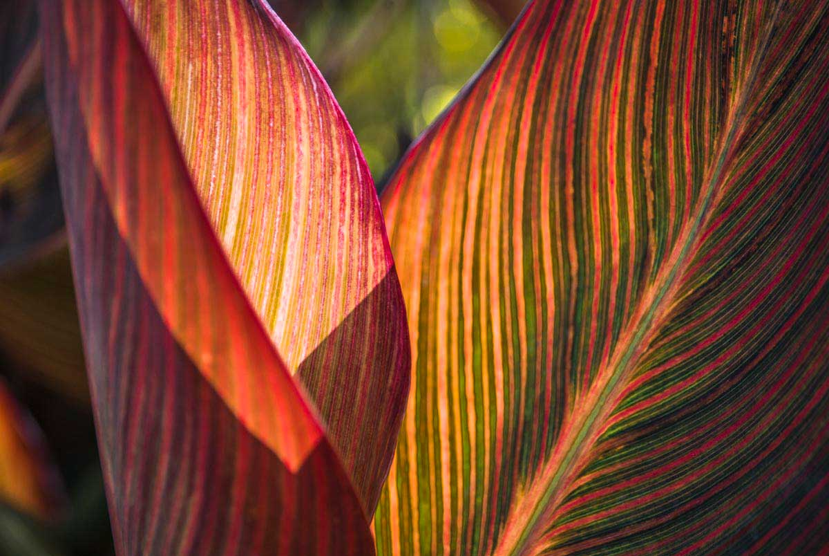 Canna Lily Leaves I by Barbara Markoff